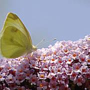 Butterfly On Buddleia Art Print