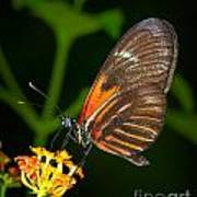 Butterfly On Orange Bloom Art Print