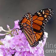 Butterfly On Phlox Art Print
