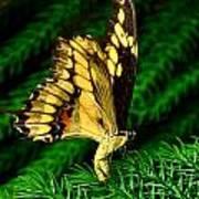 Butterfly On Pine Art Print