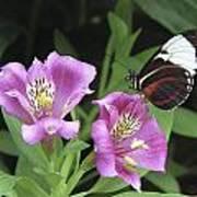 Butterfly On Pink Lillies Art Print
