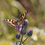 Butterfly On Tistle Sep Art Print