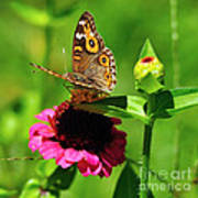 Butterfly On Zinnia Flower 2 Art Print