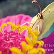 Butterfly On Zinnia Art Print