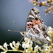 Butterfly - Painted Lady - Tasty Out Here Art Print