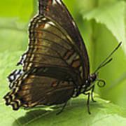 Butterfly Resting Art Print