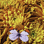 Butterfly Resting On Mums Art Print