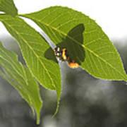 Butterfly Shadow Art Print