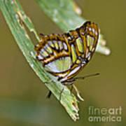 Butterfly Siproeta Stelenes Art Print
