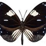 Butterfly Species Euploea Radamanthus Common Name Magpie Crow Art Print
