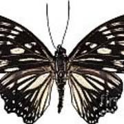 Butterfly Species Euripus Nyctelius Euploeoides  Art Print