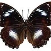 Butterfly Species Hypolimnas Bolina  Art Print