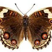 Butterfly Species Junonia Orithya  Art Print