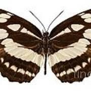 Butterfly Species Neptis Hylas  Art Print