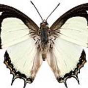 Butterfly Species Polyura Jalysus Art Print