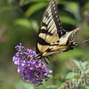 Butterfly Sucking On Some Pollen Art Print