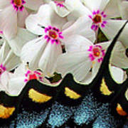 Butterfly Wing And Phlox Art Print