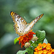 Butterfly Wings Of Sun 2 Art Print by Thomas Woolworth