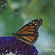Butterflybush Art Print