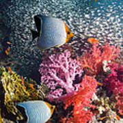 Butterflyfish Over Coral Reef Art Print