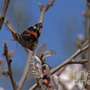 Butterfy In Almond Blossoms   #9289 Art Print