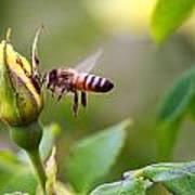 Buzz The Bee Art Print