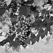 Bw Hanging Thompson Grapes Sultana Poster Look Art Print