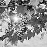 Bw Lens Flare Hanging Thompson Grapes Sultana Art Print
