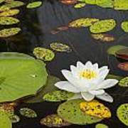 Bwca Water Lily Art Print