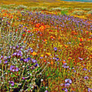 Ca Poppies And Goldfields And Lacy Phacelia And Sage In Antelope Valley Ca Poppy Reserve-california Art Print
