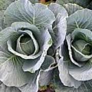 Cabbage Duo Art Print