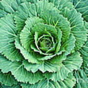 Cabbage Leaves Art Print