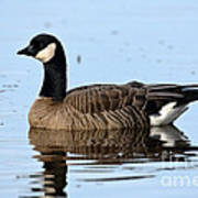 Cackling Goose In Water Art Print