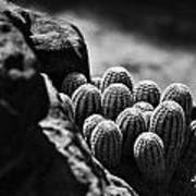 Cacti  B And W V2 Art Print