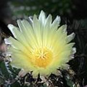 Cacti Flower In White Art Print