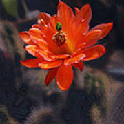 Cactus Blossom 1 Art Print
