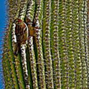 Cactus Wren With Offspring In A Saguaro Cactus In Tucson Sonoran Desert Museum-arizona Art Print
