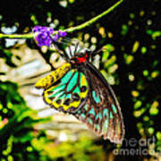 Cairns Birdwing Art Print