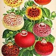 Calceolaria From A Vintage Belgian Book Of Flora. Art Print