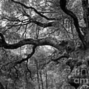 California Black Oak Tree Art Print