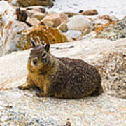 California Ground Squirrel With Sandy Nose Art Print
