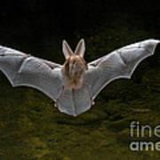 California Leaf-nosed Bat Art Print