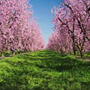 California Peach Tree Orchard  Art Print