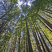 California Redwood Forest Art Print by Brendan Reals