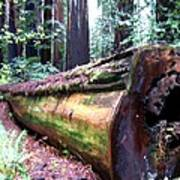 California Redwoods 2 Art Print