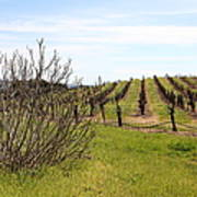California Vineyards In Late Winter Just Before The Bloom 5d22121 Art Print