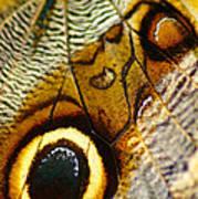 Caligo Atreus Art Print