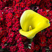 Calla Lily In Red Kalanchoe Art Print