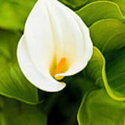 Calla Lily Plant Art Print