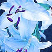 Calming Lily Art Print
